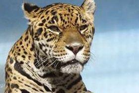 国内最高齢の22歳で死んだ雄のジャガー「ジャガオ」(天王寺動物園提供)