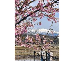 カワヅザクラと白山の眺めを楽しむ散策者=小松市の木場潟公園南園地