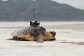 小型記録装置を付けたアカウミガメ(研究チームの木下千尋さん提供)