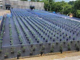 さまざまな品種のブルーベリーが並ぶ農園=加茂郡川辺町下川辺、大洋技研工業岐阜事業所