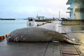 漁港の岸壁に横たえられたジュゴンの死骸=3月18日、今帰仁村・運天漁港