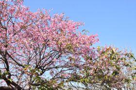 鮮やかなピンクの花を咲かせるヒマラヤアキザクラ