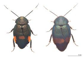 南西諸島で発見され、新種と判明したアカボシルリゴキブリ(左)とウスオビルリゴキブリ(竜洋昆虫自然観察公園提供)