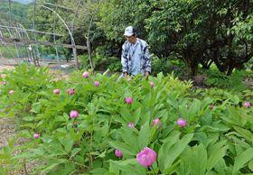 薄紅の花を咲かせたベニバナヤマシャクヤク。奥のユズの木の下にも広がっている(大豊町柚ノ木)