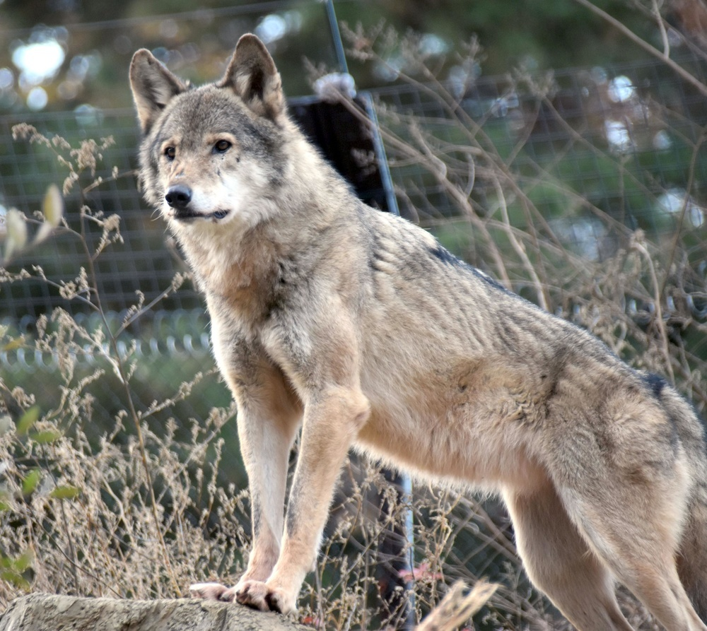 夕方、岩場に立つタイリクオオカミ。すこしさびしげに見えた