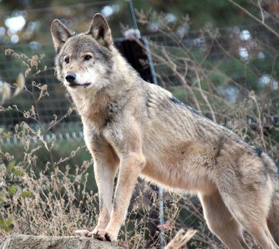 (504)ほこり高い野生の動物   タイリクオオカミ