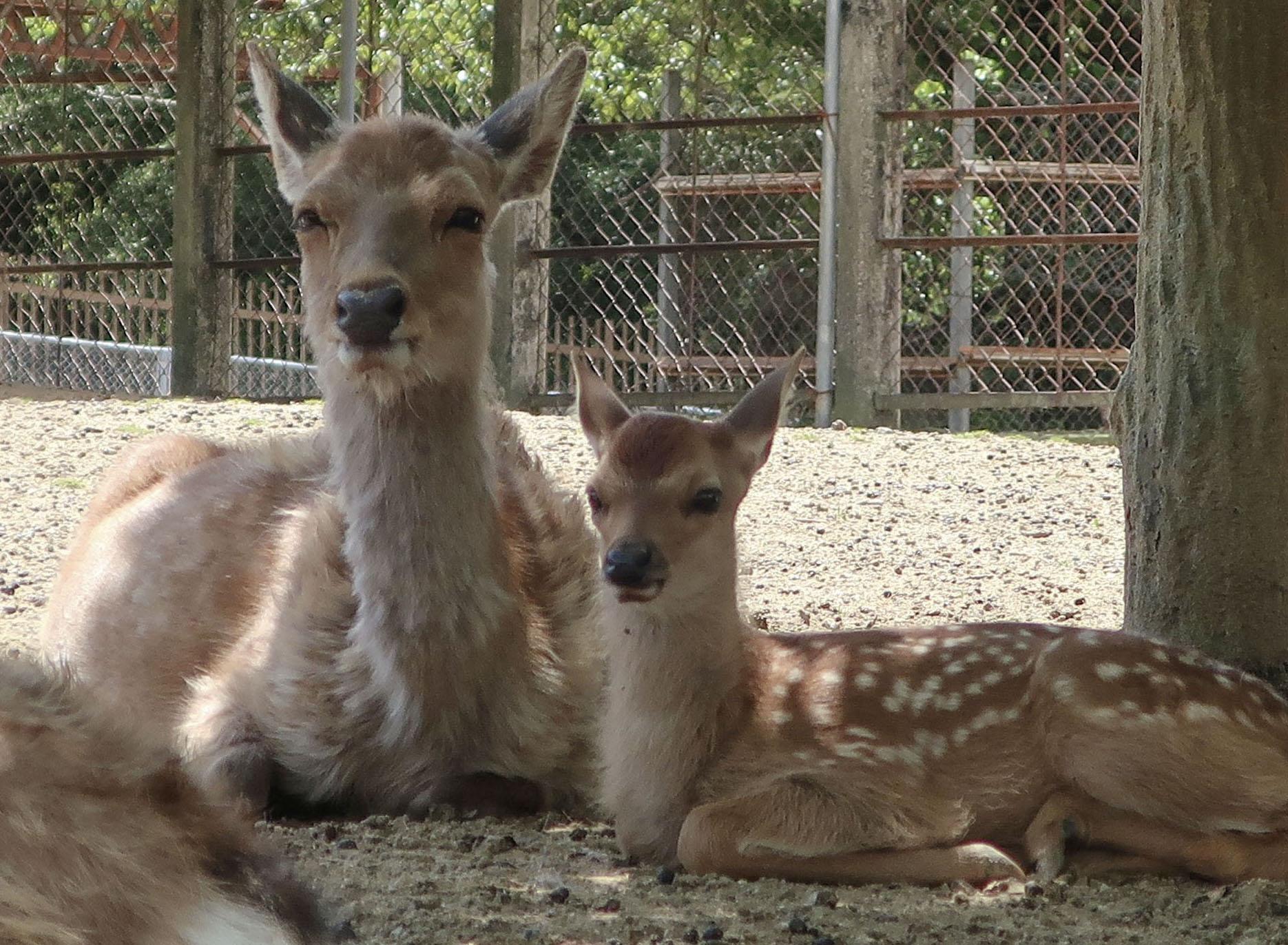 「奈良の鹿愛護会」が公開した子ジカと母ジカの写真=5月、奈良市(同会提供)