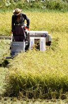 米の収穫=2018年9月、埼玉県蓮田市