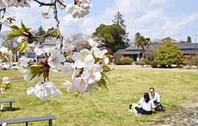 見ごろを迎えた磐城平城本丸跡地の桜