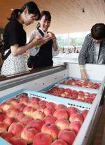 食べ放題の桃を選び取るツアー客たち