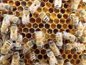 ダンスをする特徴を持つセイヨウミツバチ(農研機構提供)