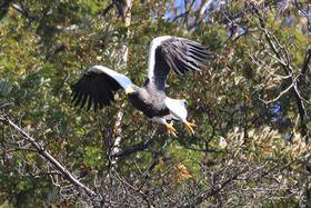 今年も山本山に飛来したオオワシ(長浜市湖北町)=湖北野鳥センター提供