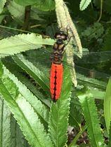 川南湿原で3年ぶりに確認されたオオハラビロトンボ(川南湿原を守る会提供)