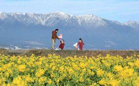 花盛りのカンザキハナナの対岸で雪化粧した比良山系(22日午前10時5分、守山市今浜町・第1なぎさ公園)