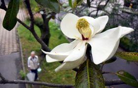 緑地帯で白い大輪の花を咲かせるタイサンボク=鹿児島市紫原2丁目