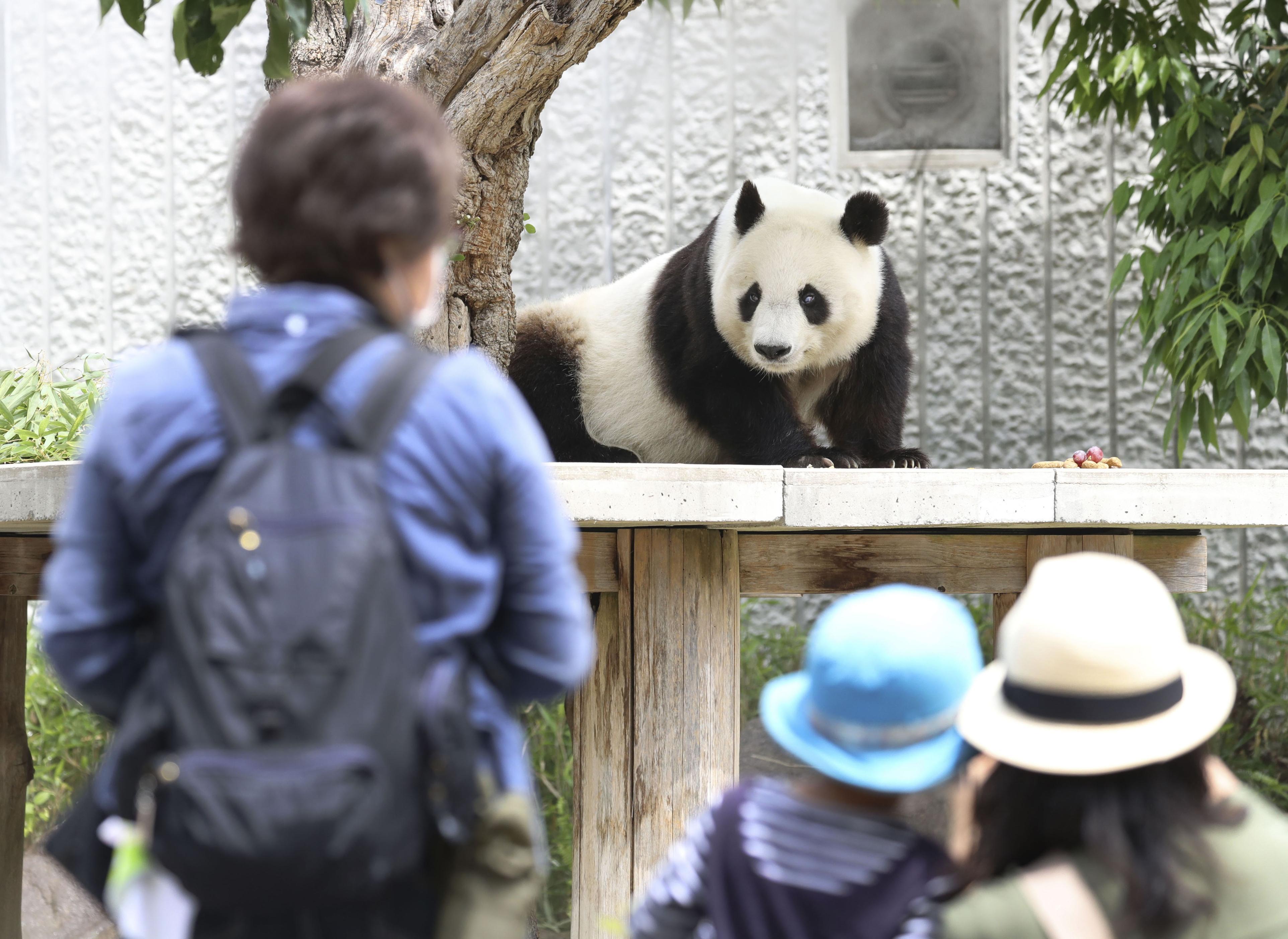 営業を再開した神戸市立王子動物園のジャイアントパンダの「タンタン」を見る来園者たち=1日午前