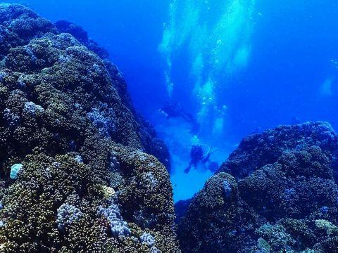 沖縄県名護市辺野古に隣接する大浦湾のアオサンゴ群集=2016年1月(牧志治さん撮影)