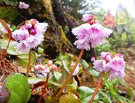 〔ふくしま花だより〕安達太良連峰 山頂付近咲くイワカガミ