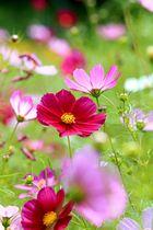 日差しを浴びた花が輝くように咲く治部坂高原スキー場のコスモス=阿智村浪合