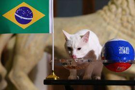 ブラジル―コスタリカの試合結果を予想する猫のアキレス=22日、ロシア・サンクトペテルブルク(タス=共同)