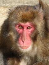 大分市の高崎山自然動物園の「選抜総選挙」雄部門で優勝したブラック(同園提供)