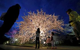 試験点灯で春の夜空に浮かび上がる早咲きの桜(24日午後6時42分、京都市左京区・京都府立植物園)