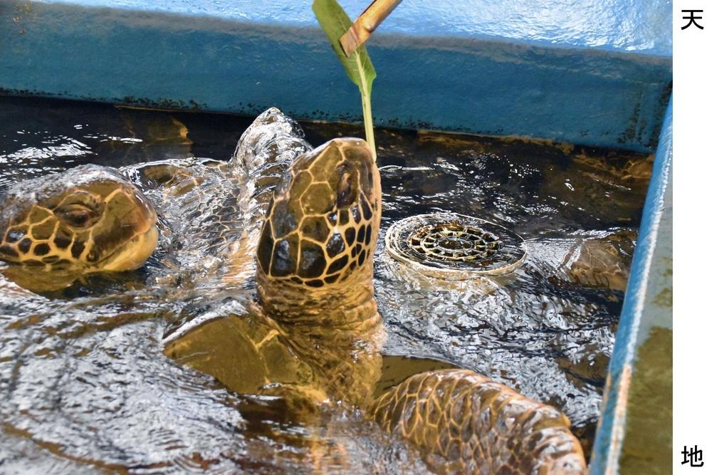 コマツナを食べようと水面に顔を出すアオウミガメ