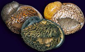 インド洋に生息するスケーリーフット(海洋研究開発機構提供)