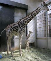 天王寺動物園で7日早朝に生まれたキリンの赤ちゃん(右)と母親のハルカス=大阪市(同動物園提供)