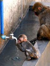 厳しい暑さのなか、蛇口からしたたる水を求めるニホンザルの子ども=13日午前10時35分、福岡市動物園