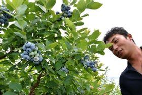 大粒のブルーベリーが楽しめる里脇観光ぶどう園=三木市口吉川町里脇