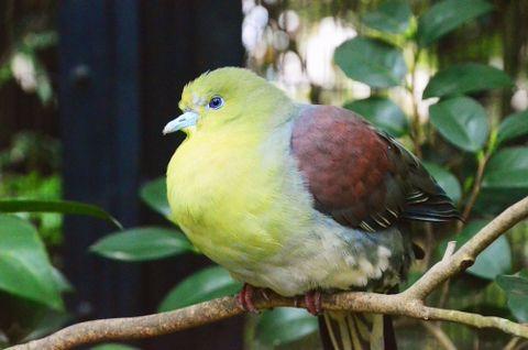 (418)日本にもこんなハトが 黄緑が美しい