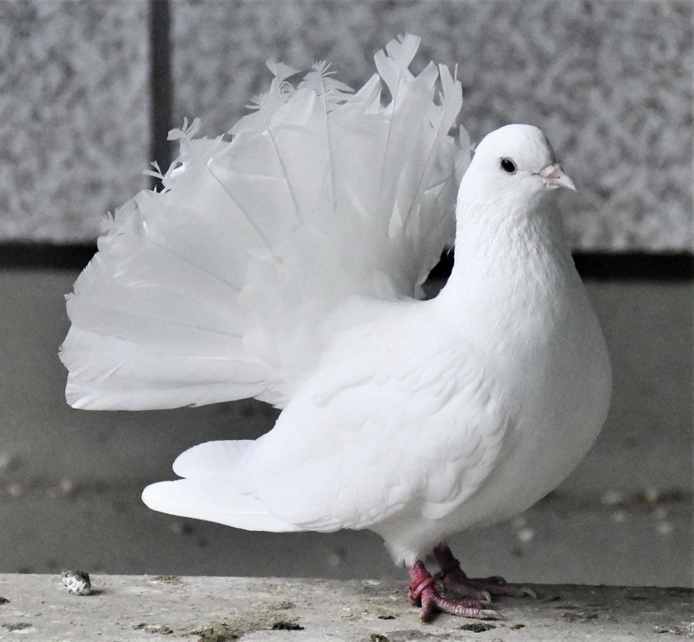 白い体に大きな尾羽がかっこいいクジャクバト
