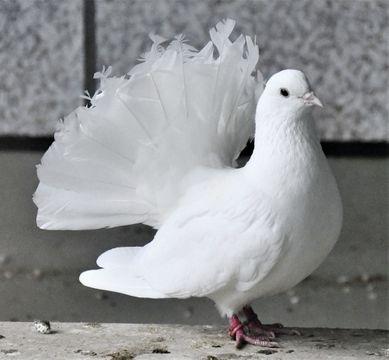 (589)一生続くペア、弱ったら守る クジャクバト