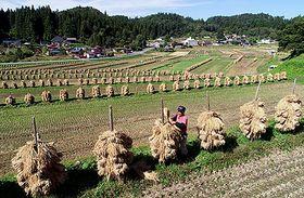 天日干しの稲ぐいが立ち並ぶ大蕨の棚田=山辺町