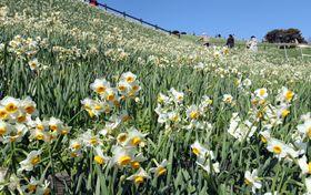 美しく咲き誇るスイセン=長崎市、水仙の里