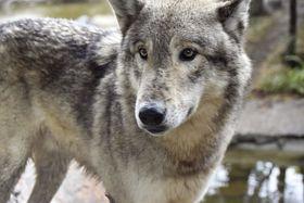 近よってきたシンリンオオカミ。目の色が深い