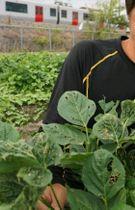 生育不良で縮んだ大豆の葉。後ろはJR鹿児島線=福岡県みやま市