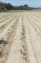 10月1日、台風24号による塩害で枯れたキャベツの苗=静岡県湖西市