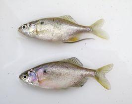 雄物川で見つかったゼニタナゴ。上が雌で下が雄=2016年10月(杉山秀樹・秋田県立大客員教授提供)