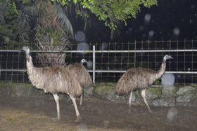 「岡山いこいの村」で飼育されているエミュー=23日午後、岡山県瀬戸内市