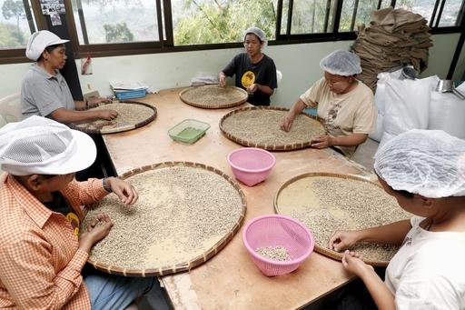 ドイチャン・コーヒー本社で乾燥させた豆を手作業で選別するミャンマー人の女性たち=2019年6月、タイ北部チェンライ県ドイチャン村(共同)