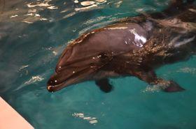 浅虫水族館で飼育され、ショーにも出演しているバンドウイルカ=5日、青森市