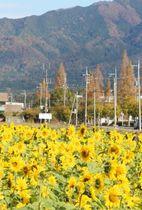 赤く色づいた鈴鹿山脈と対照的なヒマワリ園=東近江市妹町で