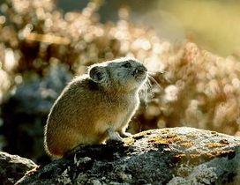 北海道のエゾナキウサギ=2017年10月、北海道鹿追町