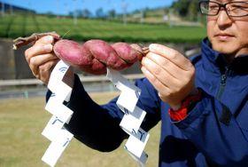 しめ縄のような外観のサツマイモ(京都府南山城村北大河原・道の駅「お茶の京都 みなみやましろ村」)