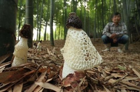 竹林に高級食材キヌガサタケ