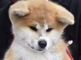 ザギトワ選手に贈呈される秋田犬の子犬=3日午後、秋田県大館市