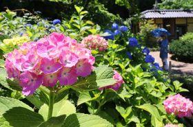 7月上旬にかけて順次見頃を迎えるアジサイ(京都市左京区・府立植物園)
