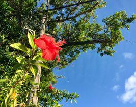 (資料写真)ハイビスカスの花